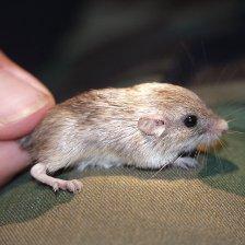 poket mouse